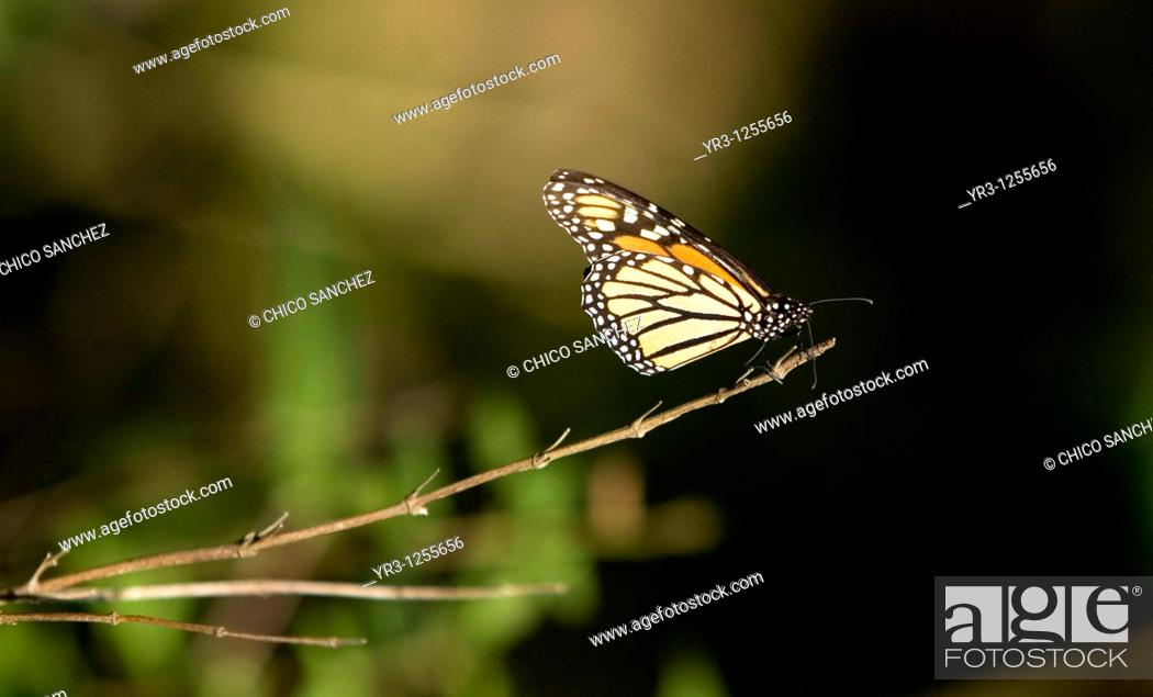 Stock Photo: A Monarch butterfly Danaus plexippus perchs on a branch in El Rosario Sanctuary for monarch butterflies near Angangueo village in Mexico, Dec 25.