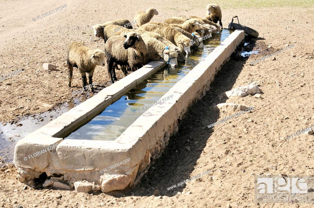 Stock Photo: Sheep at a trough, Altiplano Bolivian highland, Oruro Department, Bolivia, South America.