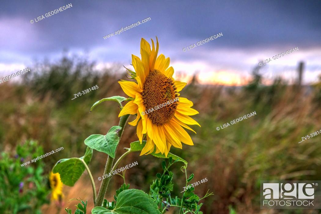 Stock Photo: Sunflower-Helianthus.