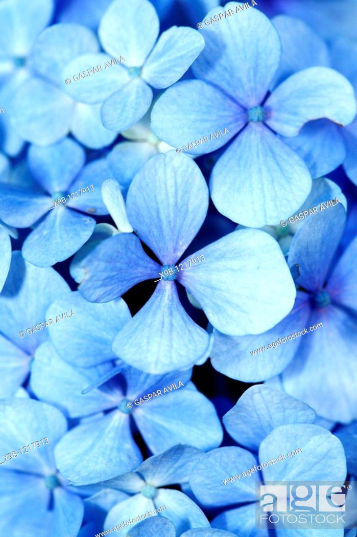 Stock Photo: Hydrangea closeup.