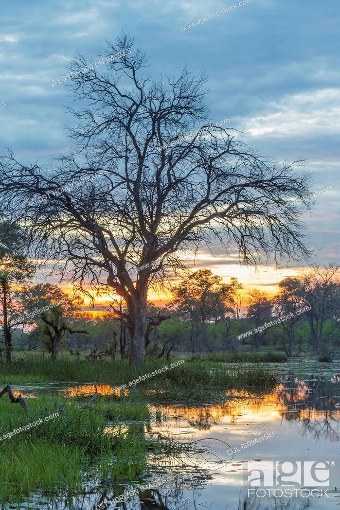 Stock Photo: Swamp and trees, Okavango Delta, Chobe National Park, Botswana, Africa.