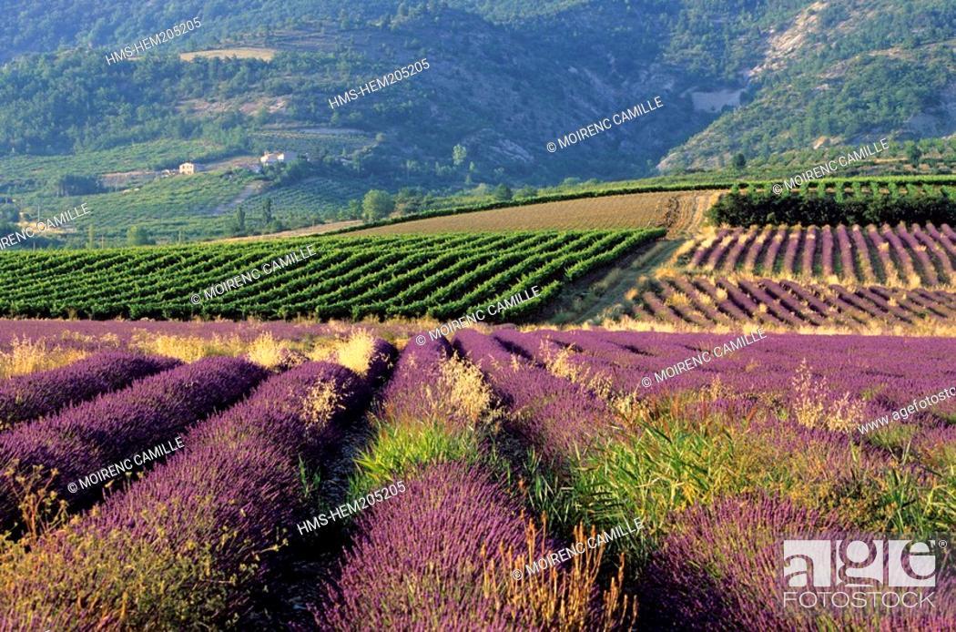 Stock Photo: France, Drome, Drome Provencale, landscape, vines and lavander near Sainte Jalle.
