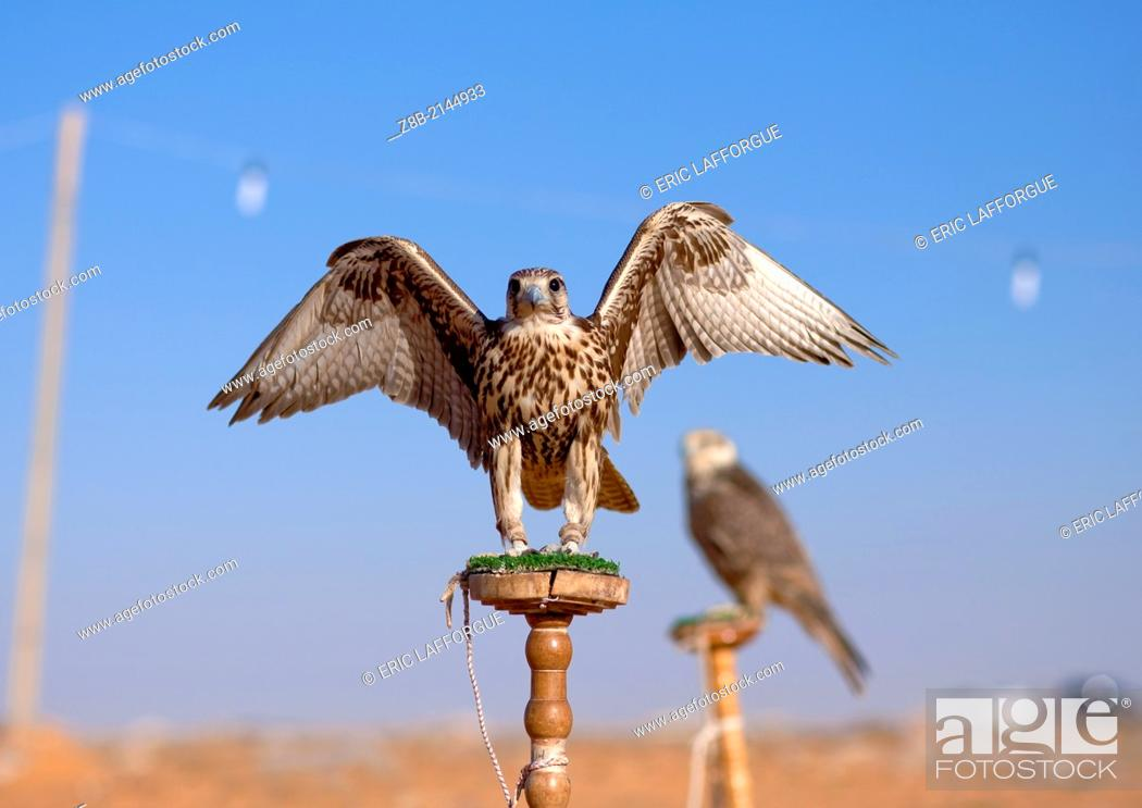 Stock Photo: Falconry is known in Arabia for thousands of years. One species (shaheen) of falcons is on display together with the bustard, the most wanted quarry.