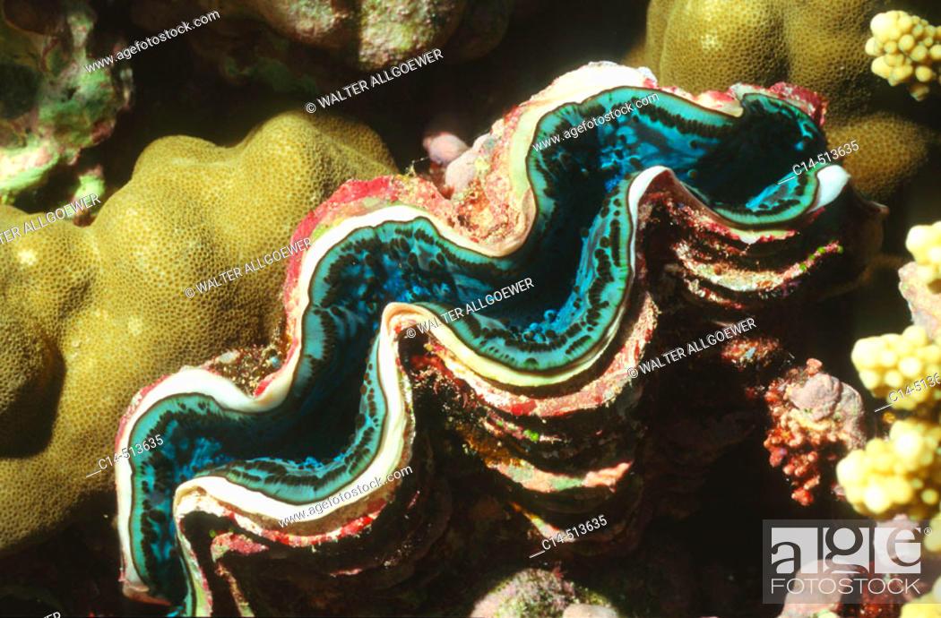 Stock Photo: Giant Clam (Tridacna maxima).