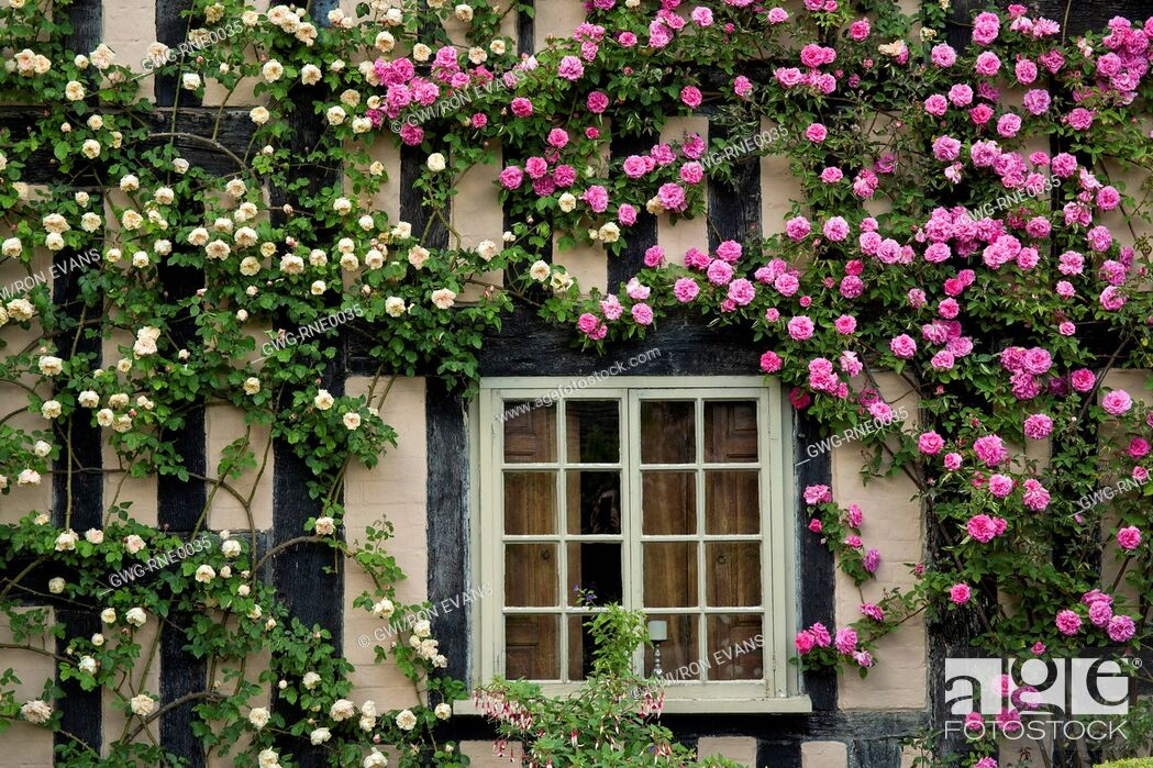 Rosa Zepherin Drouhin Garden Design Ideas
