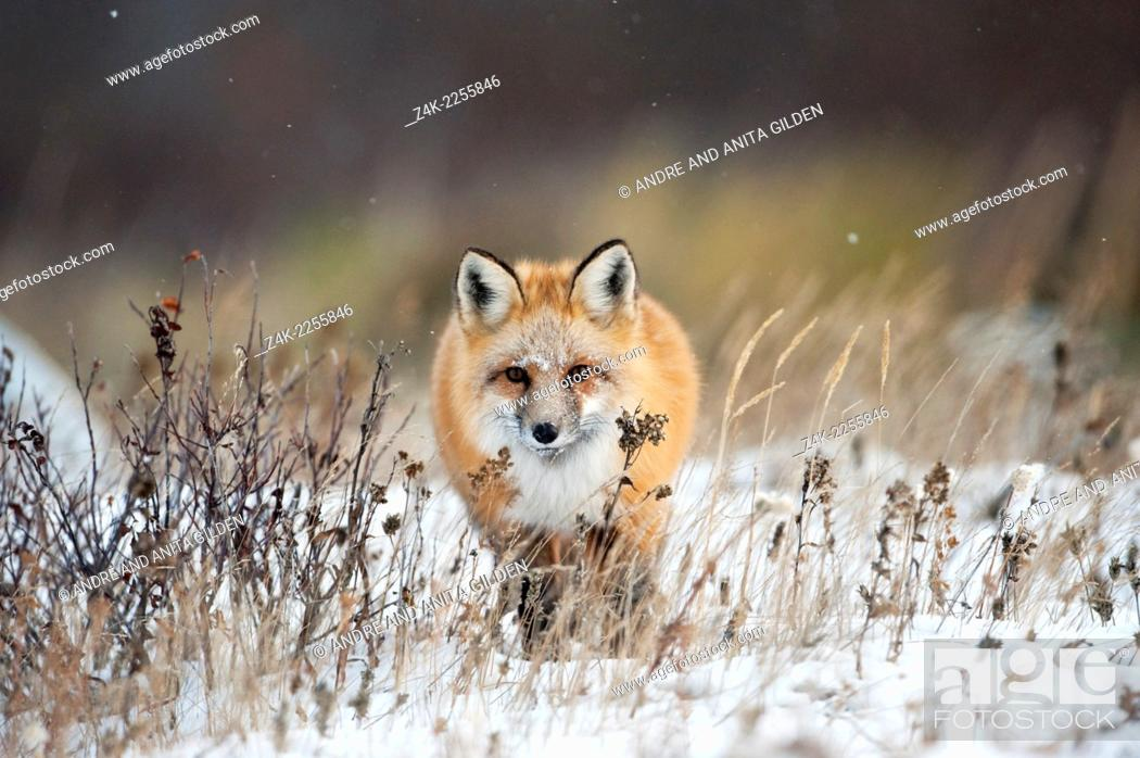 "Imagen: Red fox (Vulpes vulpes) walking towards in snow, Churchill, Canada. Winner """"arret sur Image"""" festival Montier-en-Der, 2010."