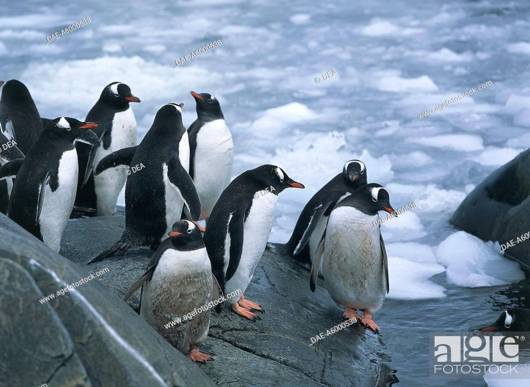 Stock Photo: Zoology - Birds - Sfenisciformi - Gentoo Penguins (Pygoscelis papua). Antarctica Goudier Island, Port Lockroy.