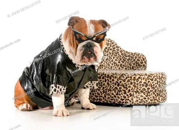 Stock Photo: female bulldog.