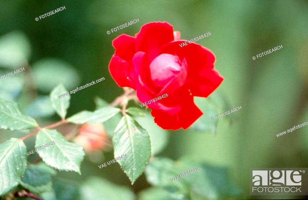 Stock Photo: red flowers, nature, flowers, flower, scene, wildflower, landscape.