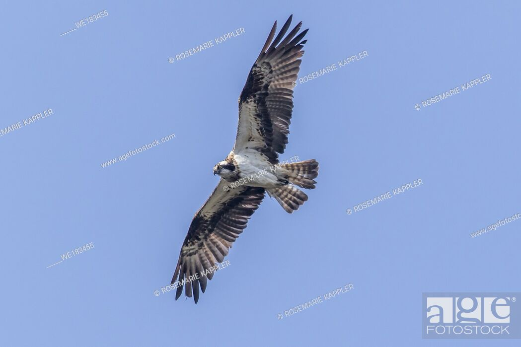 Stock Photo: An Osprey in flight over Forellenhof Trauntal.
