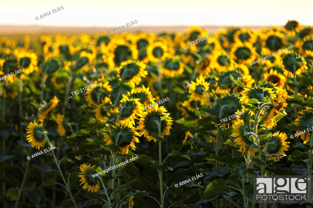 Stock Photo: Sunflowers field Helianthus annuus, Sevilla province, Andalusia, Spain.
