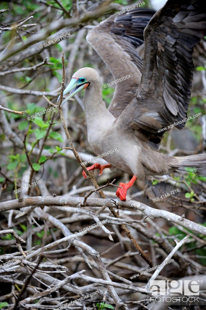 Stock Photo: ECUADOR, GALAPAGOS ISLANDS, TOWER ISLAND GENOVESA, RED-FOOTED BOOBY WITH STICK FOR NEST.