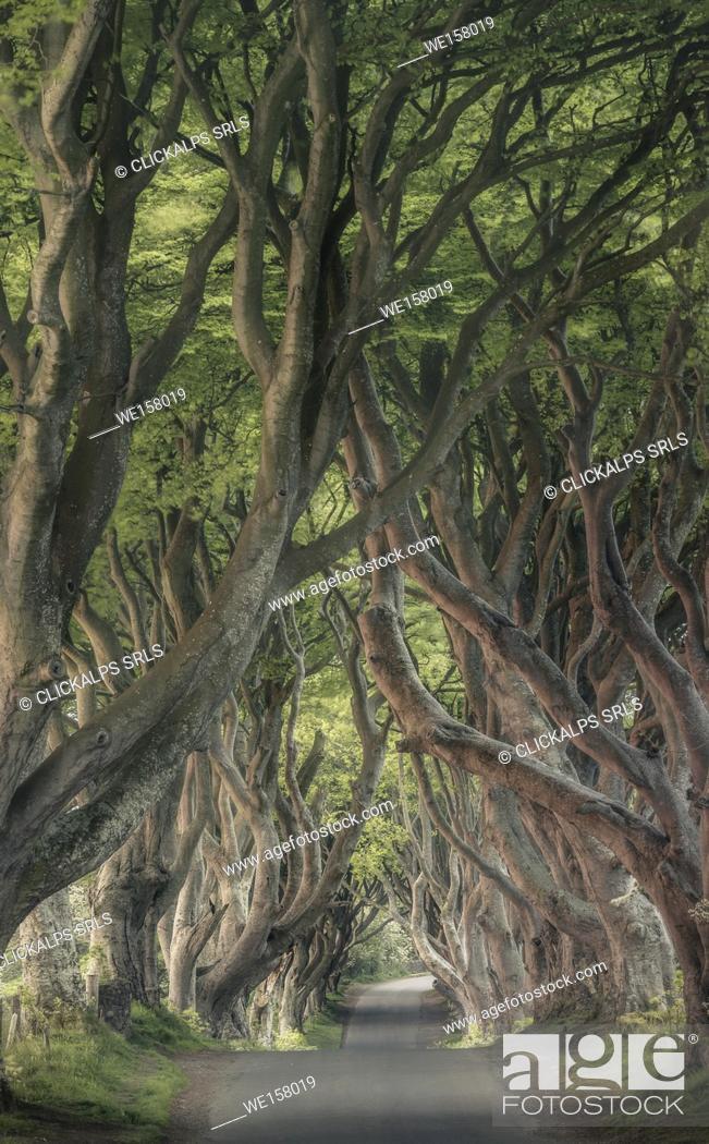 Stock Photo: The Dark Hedges near Stanocum, County Antrim, Northern Ireland, United Kingdom.