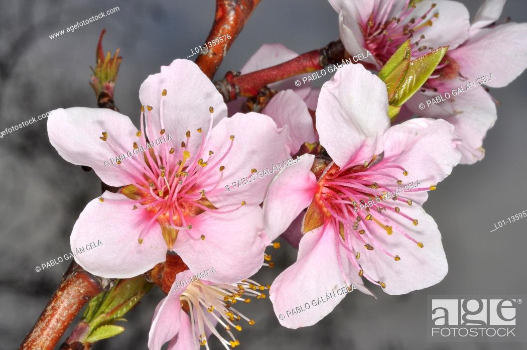 Stock Photo: Flores de almendro Prunus dulcis.