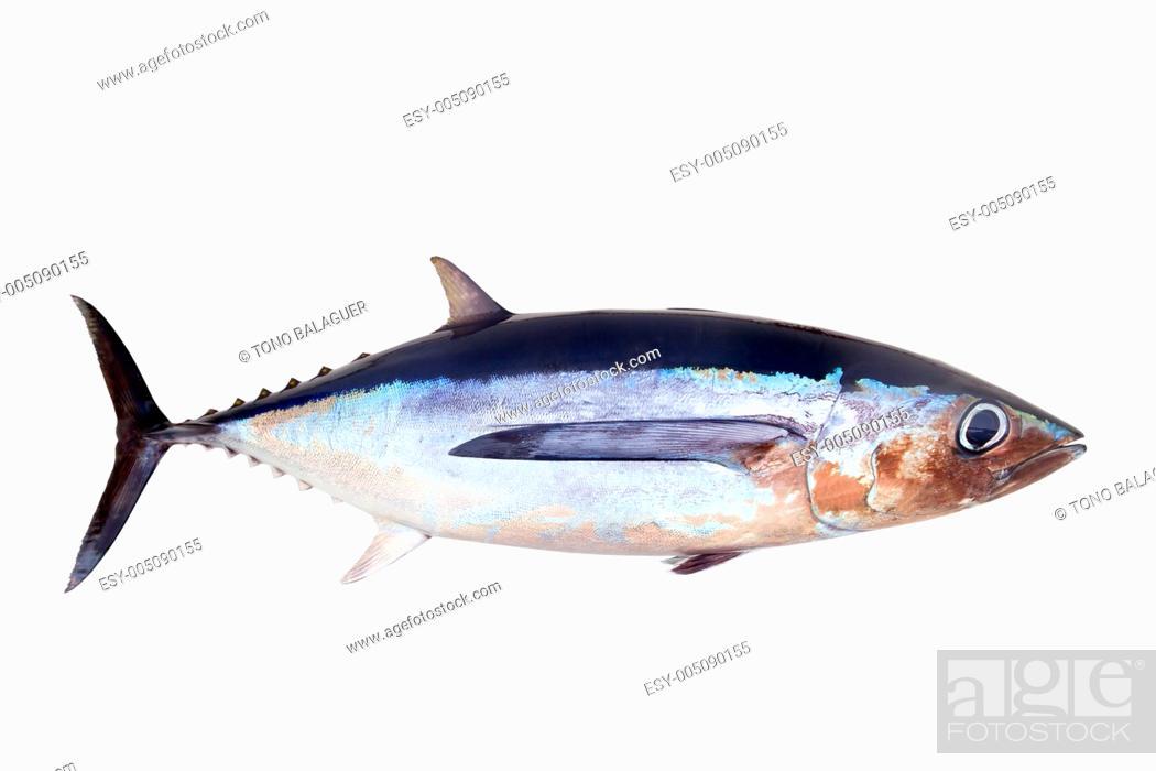 Stock Photo: Albacore tuna fish Thunnus Alalunga.