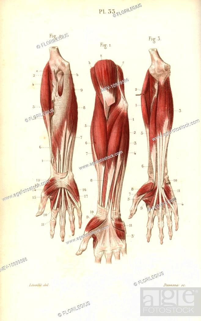 Muscles Of The Forearm And Wrist Handcolored Steel Engraving From