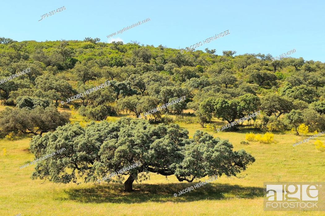 Stock Photo: Oak holm in dehesa (Quercus ilex) Zafra. Badajoz province. Extremadura. Spain.