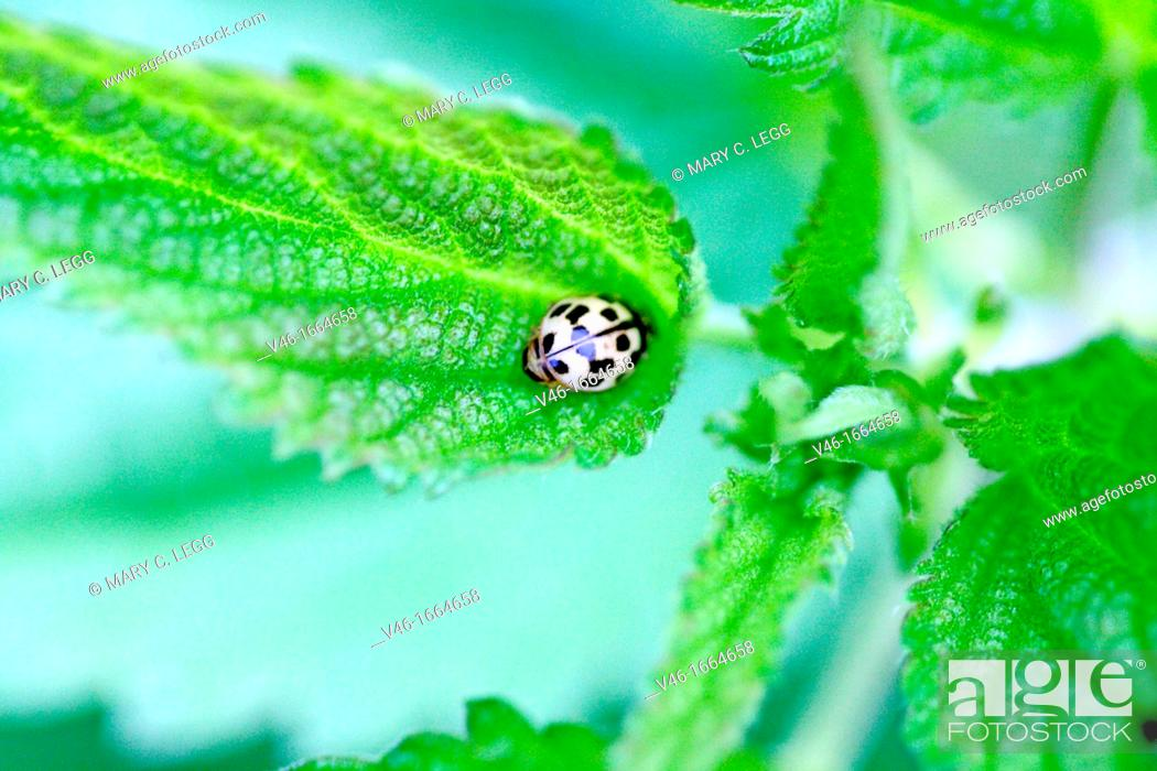 Stock Photo: Fourteen-spotted Lady Beetle, Propylea quatuordecimpunctata  Small yellow and black ladybird with fourteen spots  Sometimes the spots on back are fused into an.