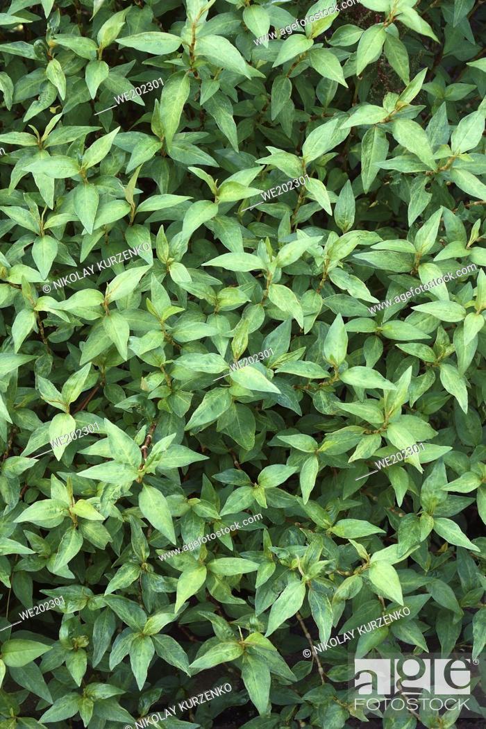 Stock Photo: Vietnamese coriander (Persicaria odorata). Called Vietnamese mint, Vietnamese cilantro, Hot mint, Laksa leaf and Praew leaf also.