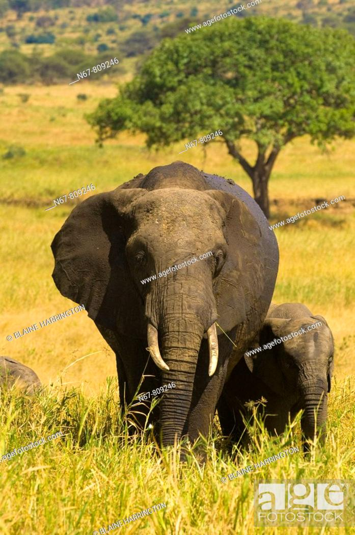 Stock Photo: A herd of African elephants, Tarangire National Park, Tanzania.