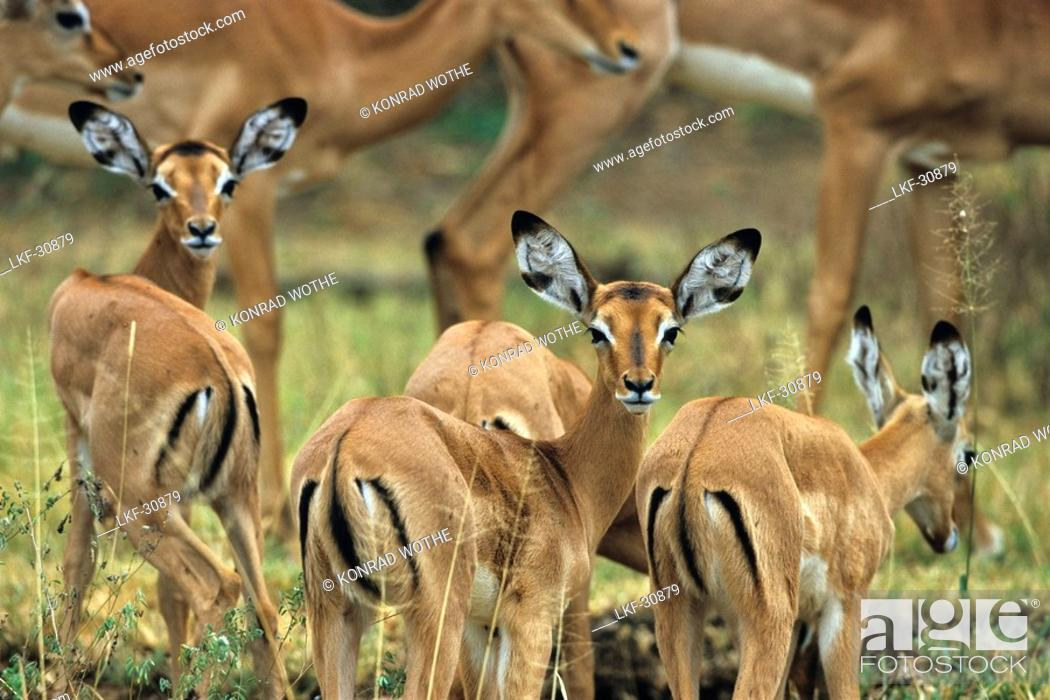 Imagen: Impalas, Serengeti National Park, Tansania, East Africa.