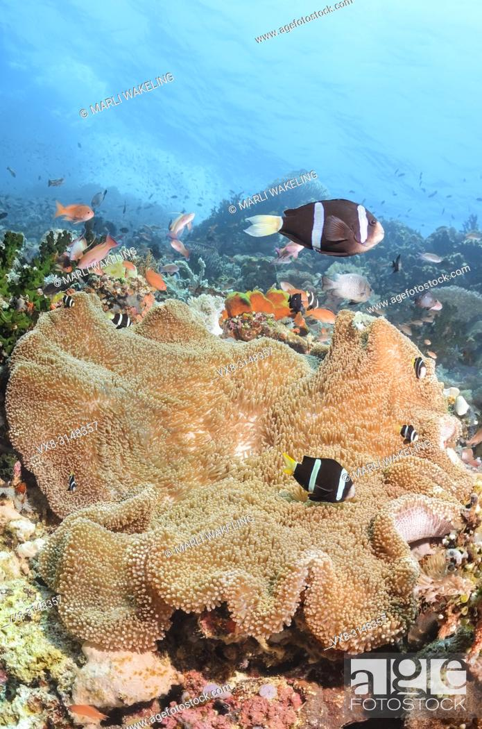 Stock Photo: Clark's anemonefish, Amphiprion clarkii, Verde Island, Batangas, Philippines, Pacific.