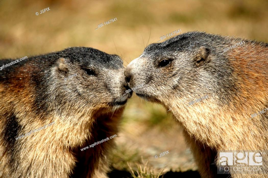 Stock Photo: Alpine Marmot (Marmota marmota), two adults, Grossglockner Mountain Range, Hohe Tauern National Park, Austria, Alps, Europe.