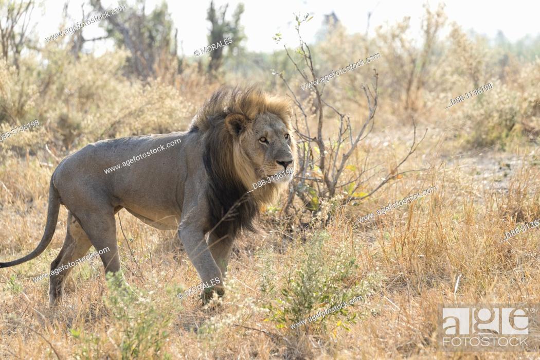 Stock Photo: Africa, Southern Africa, Bostwana, Savuti National Park, Lion (Panthera leo), adult male resting in the savannah, walking.