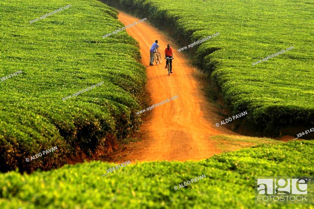 Stock Photo: Tea fields around Kabale, Uganda.