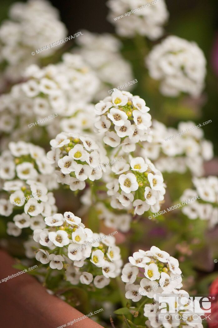 Stock Photo: White Alyssum (Lobularia maritima).