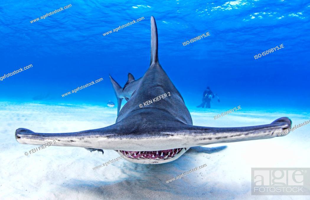 Stock Photo: Underwater view of great hammerhead shark swimming over seabed, Alice Town, Bimini, Bahamas.