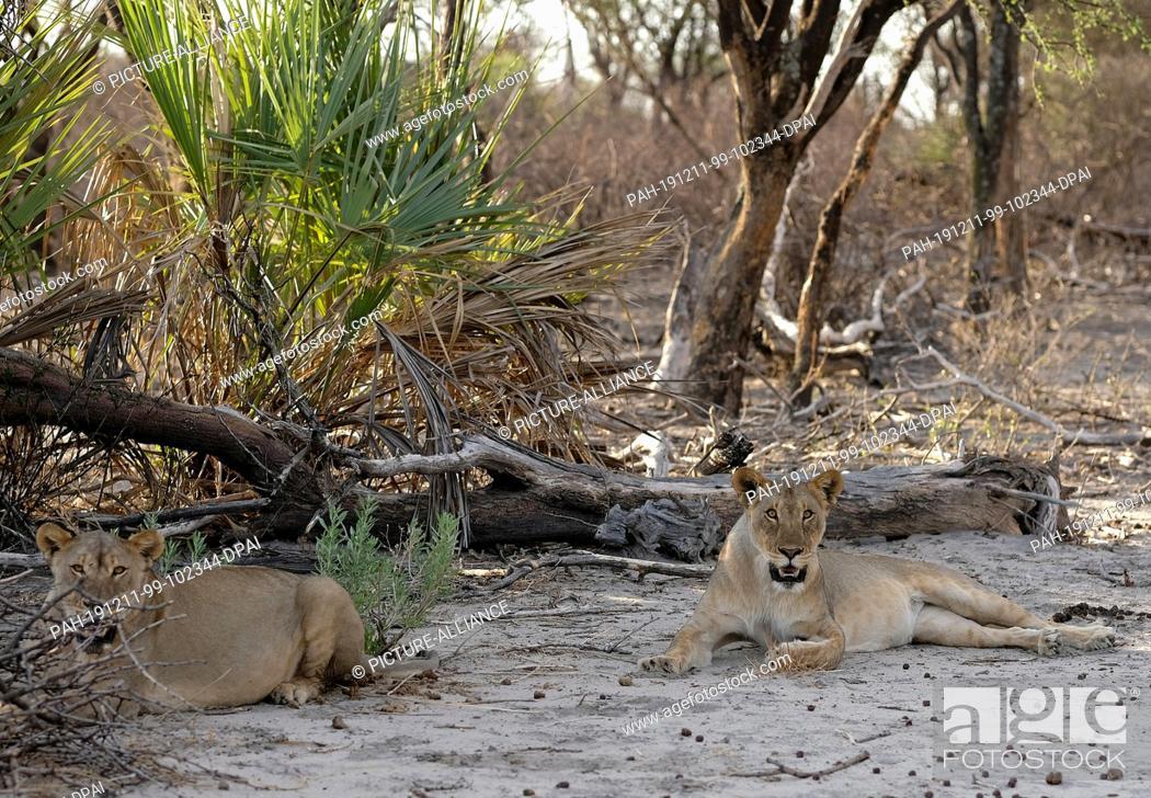Stock Photo: 29 November 2019, Namibia, Etosha-Nationalpark: Lions lie in the shade in Etosha National Park. Photo: Oliver Berg/dpa. - Etosha-Nationalpark/Namibia.