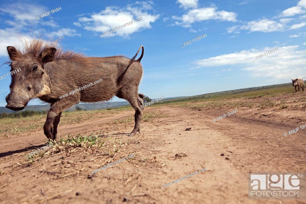 Stock Photo: Warthog (Phacochoerus africanus) trotting across a track -wide angle perspective-, Maasai Mara National Reserve, Kenya.