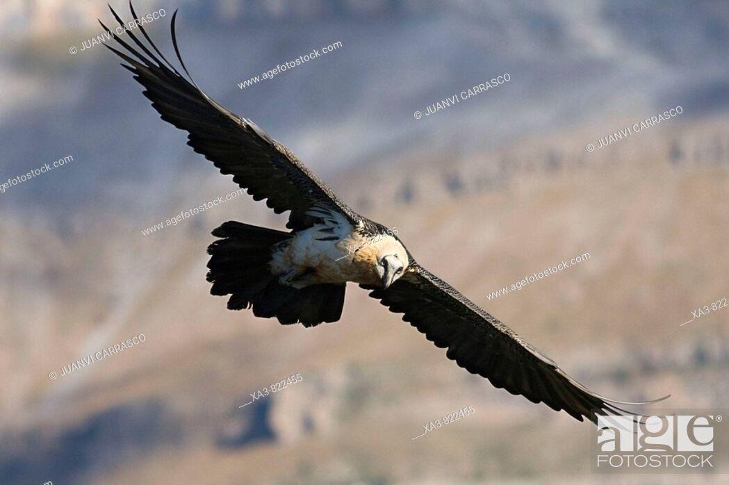 Stock Photo: Bearded vulture, Gypaetus barbatus, in flight.