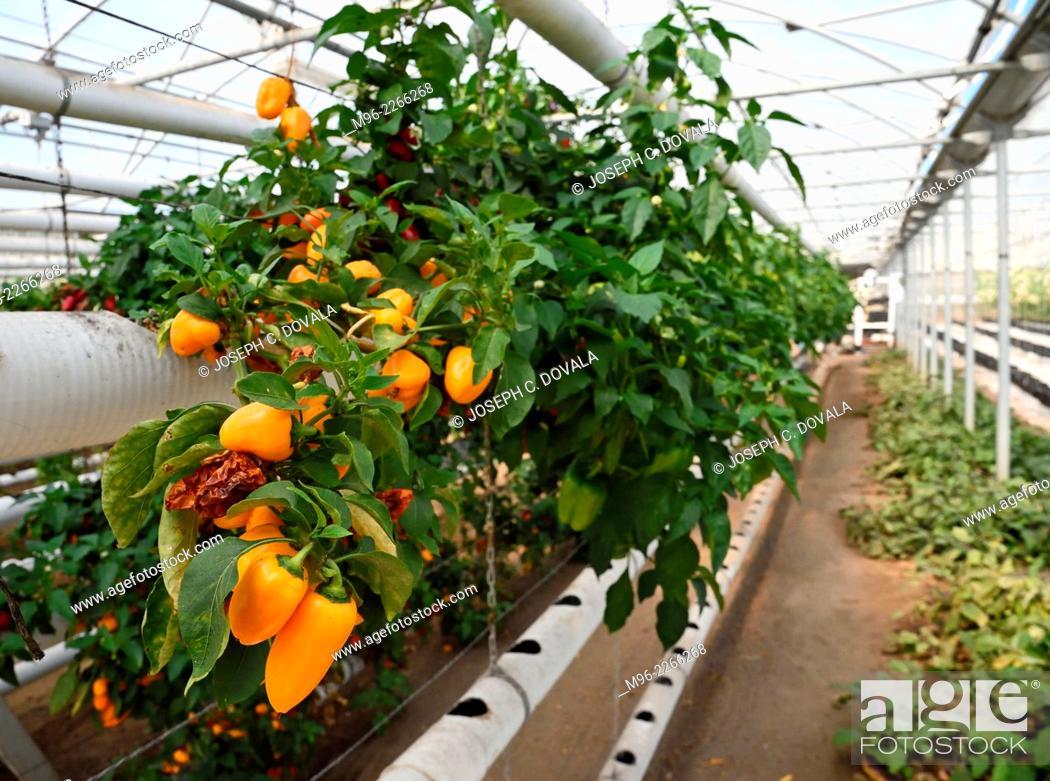 Imagen: Hydroponic peppers, San Louis Obispo, California, USA.