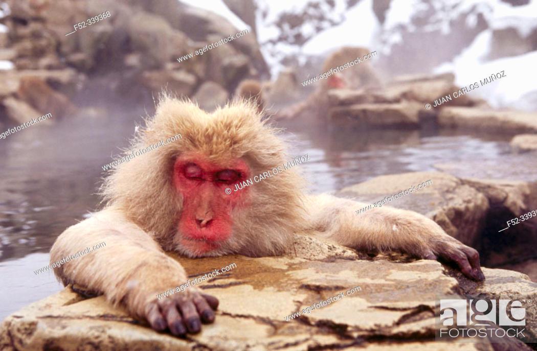 Stock Photo: Japanese Macaque (Macaca fuscata). Jigokudani, Honshu. Japan.