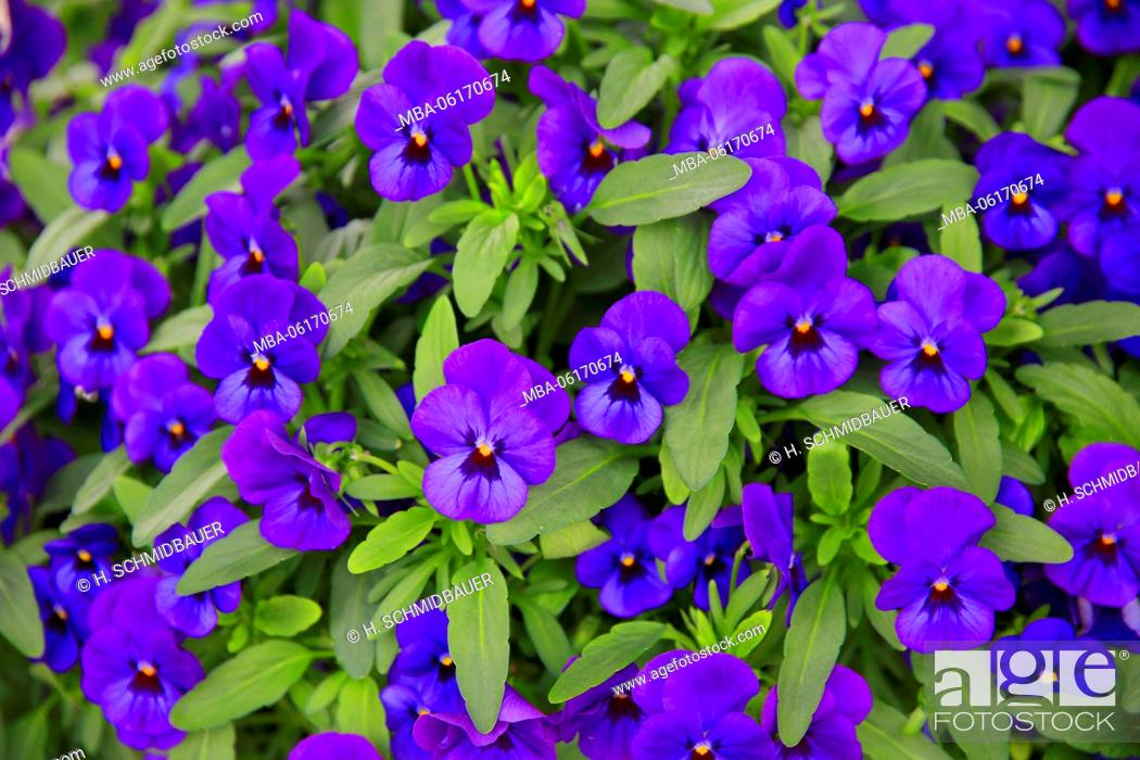 Stock Photo: Blue pansies, garden plant.