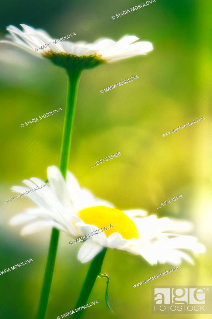 Stock Photo: Shasta daisies. Leucanthemum x superbum. May 2006. Maryland, USA.