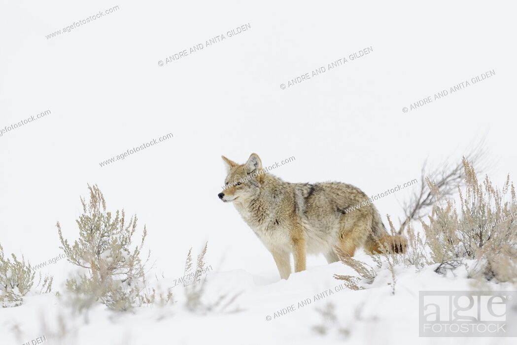 Imagen: Coyote (Canis latrans) standing between sage bush in snow, Yellowstone National Park, Montana, Wyoming, USA.