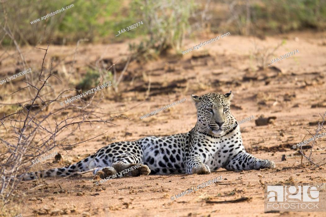 Stock Photo: Male leopard, Okonjima Nature Reserve, Namibia.