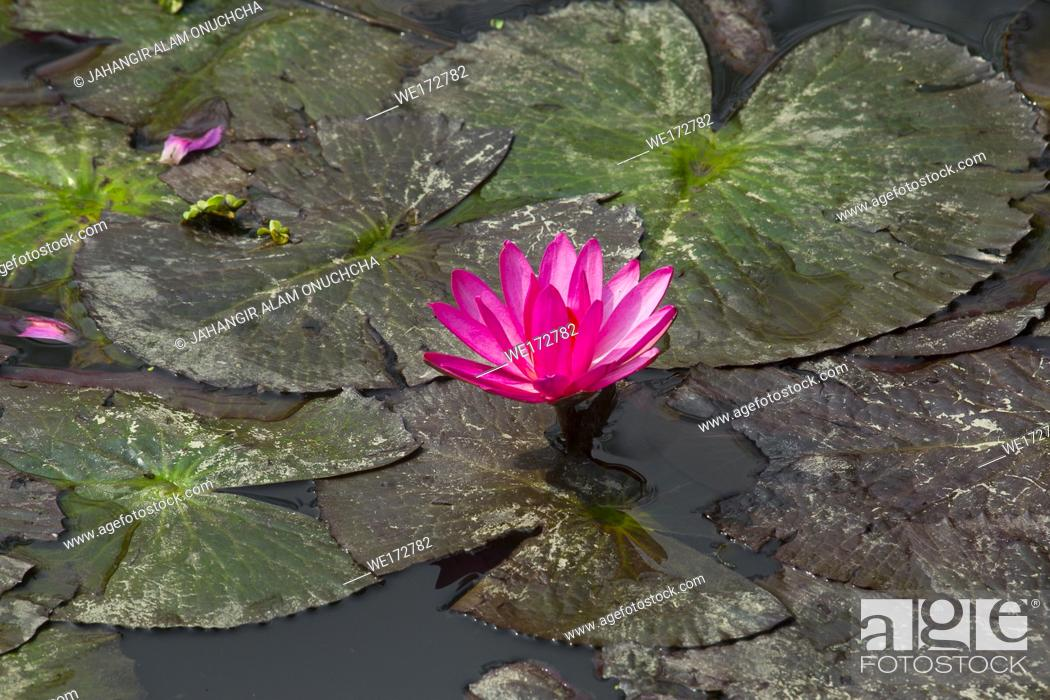 Stock Photo: Red water lily in small pond near Dhamrai, Dhala, Bangladesh.