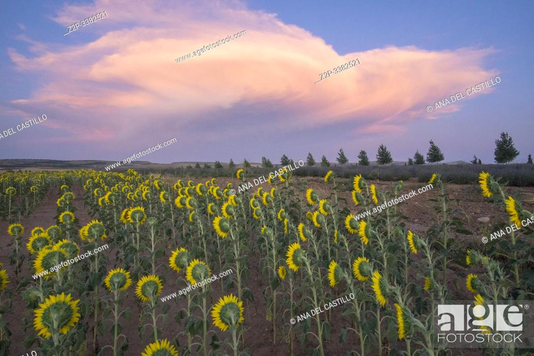 Stock Photo: Field of sunflowers sunset clouds El Pobo Teruel Aragon Spain.