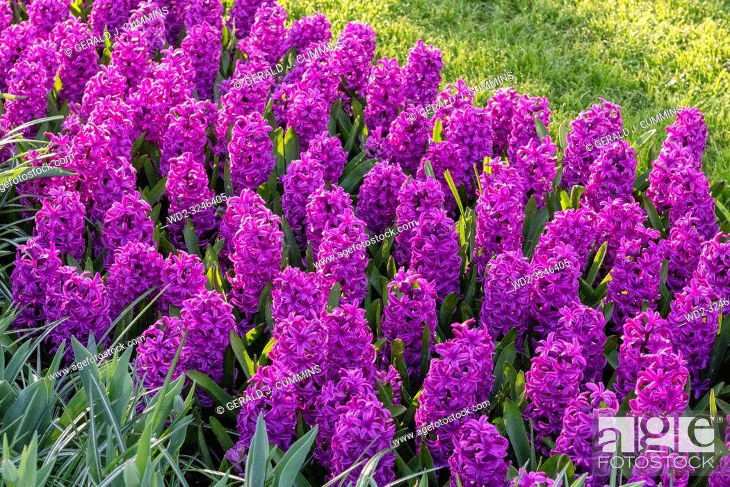 Stock Photo: Purple Hyacinthus, Species orientalis, Hyacinth. Attractive spring bulbous flowers. Highly fragrant however the bulbs contain a poison called oxalic acid.