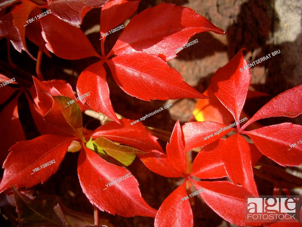 Stock Photo: Vitis climber red leaves.