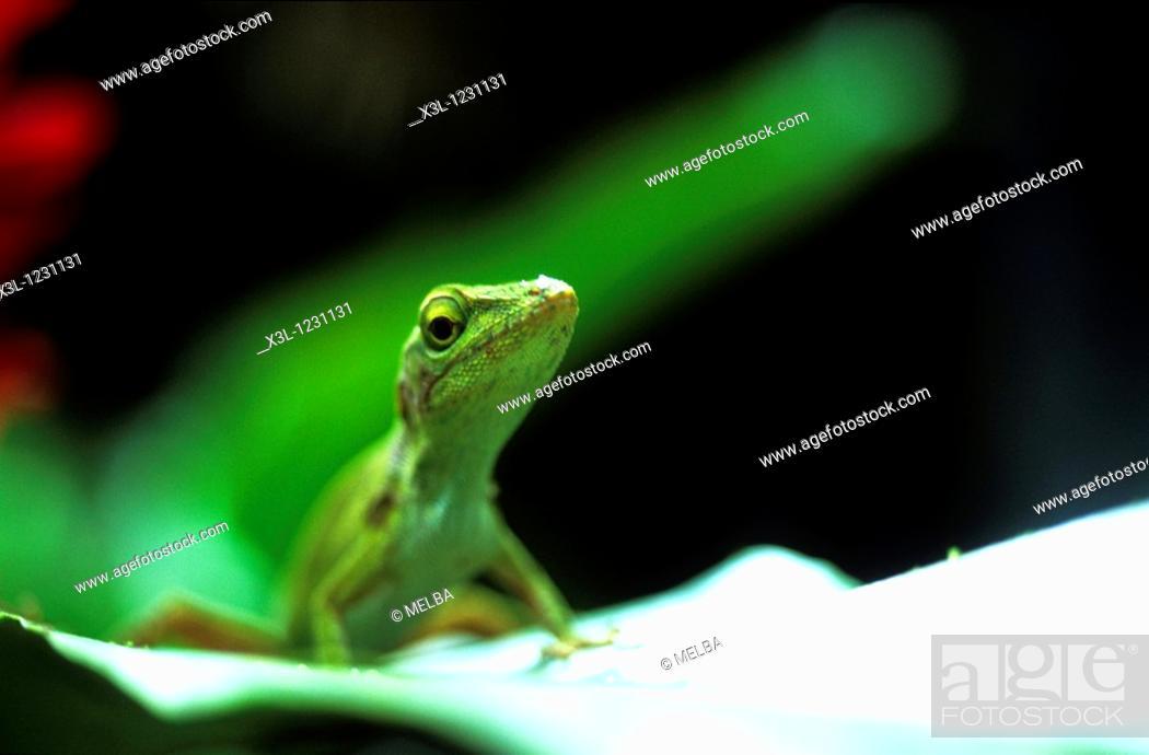 Stock Photo: Lizard reptile Costa Rica.
