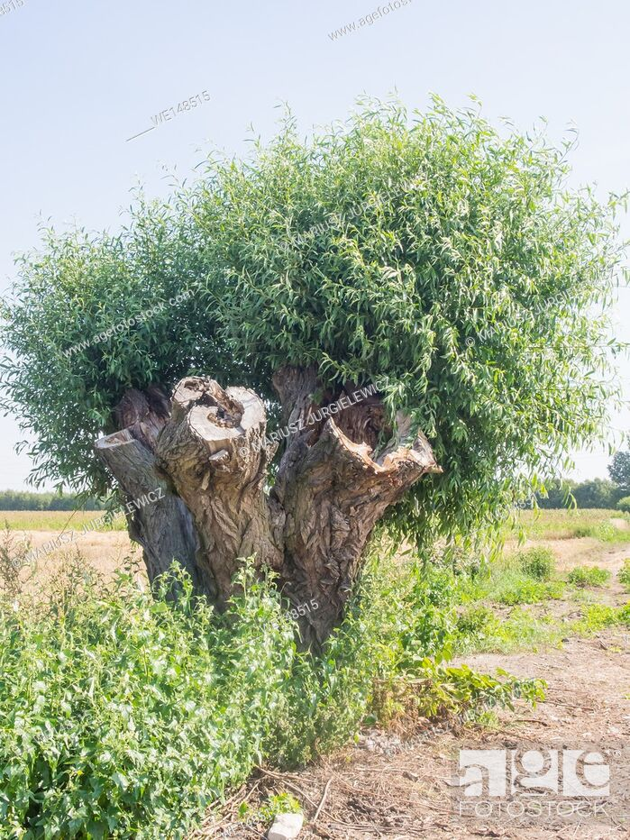 Stock Photo: Goat willow (Salix caprea) in countryside in Poland.