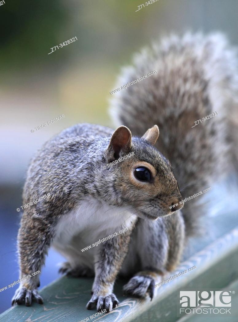 Stock Photo: Eastern gray squirrel, sciurius carolinensis.