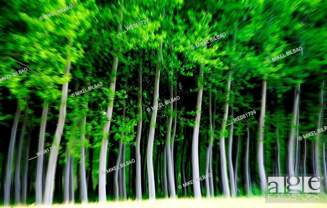 Stock Photo: Forest, Ancin, Navarra, Spain.