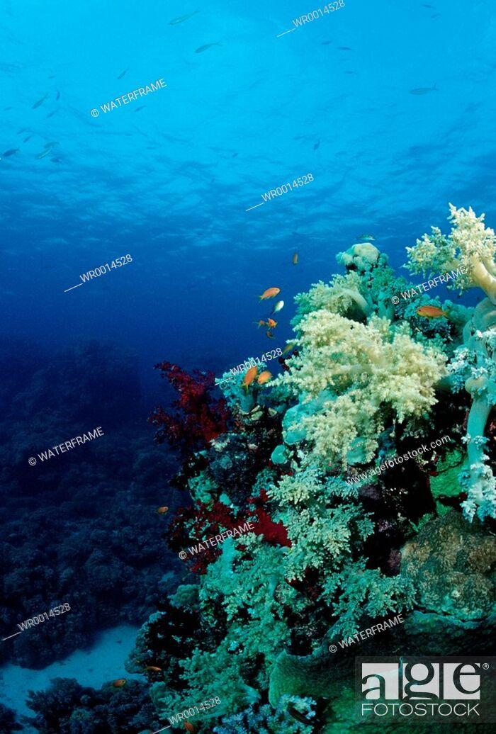 Stock Photo: Soft Coral Reef, Red Sea, Sudan.