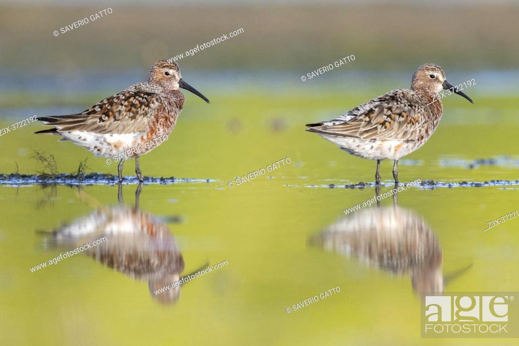 Stock Photo: Curlew Sandpiper (Calidris ferruginea), side view of two adults standing in the water, Campania, Italy.
